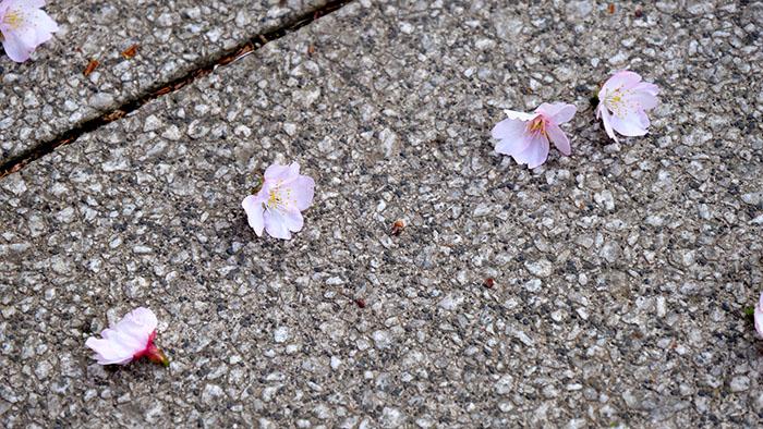 Fallen cherry blossom in Tokyo