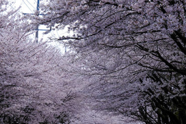 The cherry blossoms trees in full bloom in Hwagae