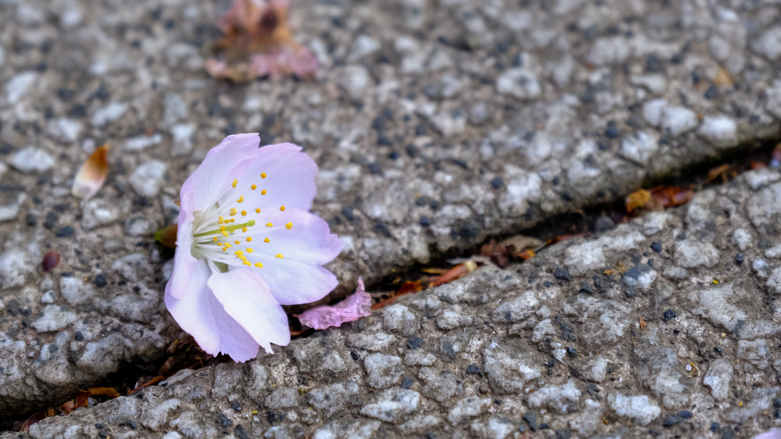Fallen cherry flower